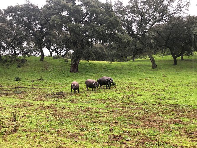 Cerdos Los Fermines